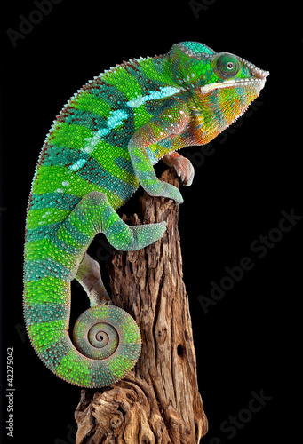 Chameleon on drift wood
