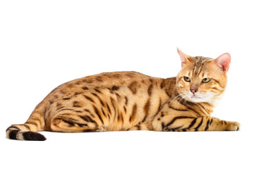 Cats Bengal breed