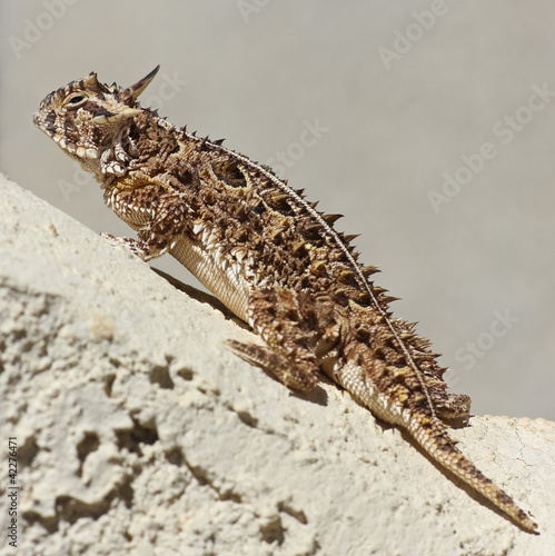 A Texas Horned Lizard Against a Stucco Wall