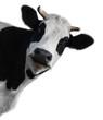 canvas print picture - Cow