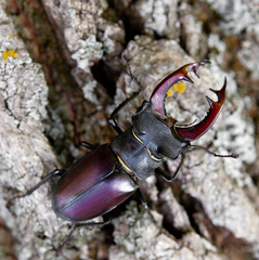 Stag beetle on the bark of a tree