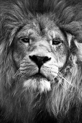 Portrait of Lion looking directly at camera