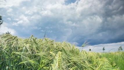 barley in dominant weather Timelapse 4K
