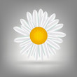 Beautiful  Daisy icon vecotr illustration