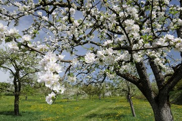 apple flowers #1, baden