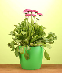 Daisy flowers in pot on wooden table on green background