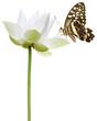 papillon sur fleur blanche de lotus