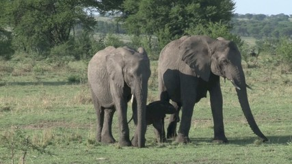 Elephants protecting a calf