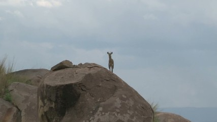 Klipspringer on a rock, facing camera. Zooming out.