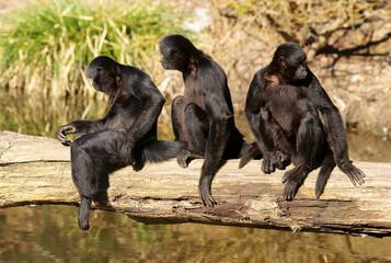 singes menacés