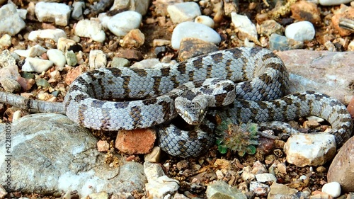 Telescopus fallax, European Cat Snake