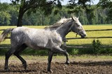 Lipizzaner stallion at the trot