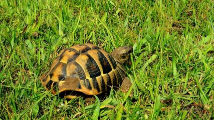 The spur-thighed tortoise, Testudo graeca, Greek tortoise