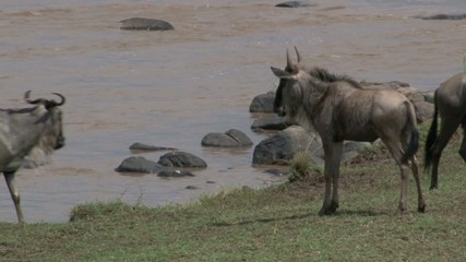 Wildebeest calf waiting for mother after rivercrossing