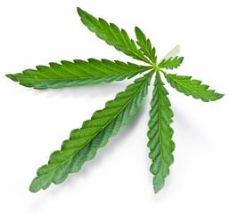 Cannabis leaf isolated