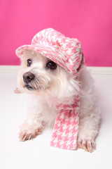 Pampered maltese terrier
