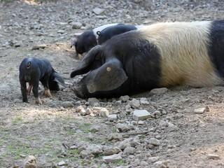 Sattelschweineber mit seinem Nachwuchs