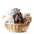 kittens cat isolated sitting in basket.  persian kitten