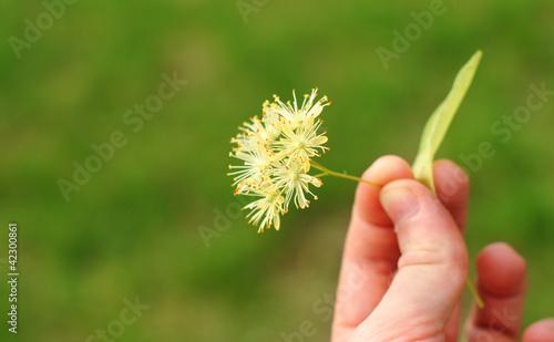 Line tree blossom