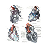 4 Views of the human heart