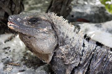Iguana Xcaret