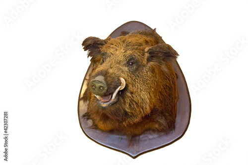 wild boar head on wall