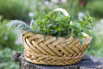 Fresh herbs (mint, artemisia) in the bucket