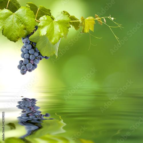 racimo de uva en la rama con reflejo