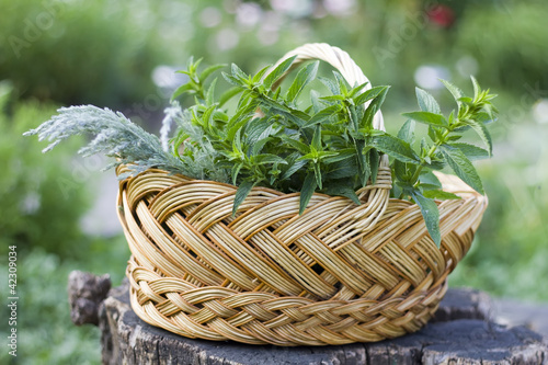 Fresh herbs (mint, artemisia) in the bucket