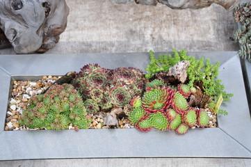 Cactus en pots