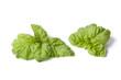 Lettuce leaf basil