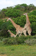 Giraffes breeding