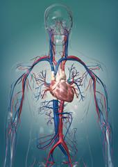 3D -  Modell eines gläsernen Menschen mit Herz/Kreislaufsystem