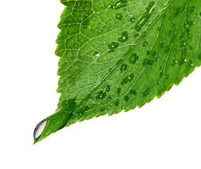 Cherry leaf with drop
