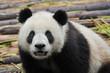Giant panda bear looking in camera