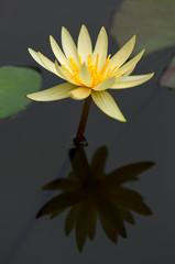 ninfee fiori 1493