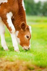 Brown calf eats grass