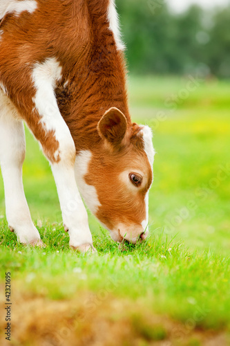 Brown calf eats grass