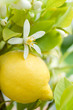 Zitrone, Blüte