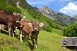 Jungrinder auf Alpe im Hochgebirge