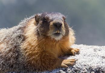 Portrait of Yellow Bellied Marmot