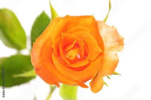 Staande foto Gerbera rose