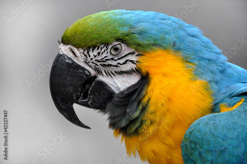 Close-up Blue-and-yellow Macaw Ara ararauna head