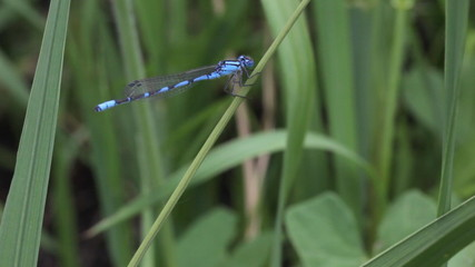 Blue dragonfly on a blade of grass