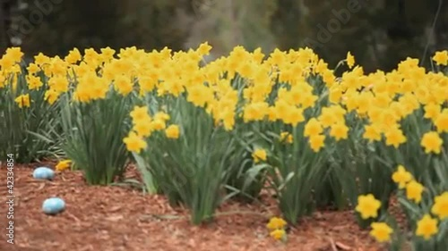 Young mixed race girl finding and gathering Easter eggs among daffodils and running off