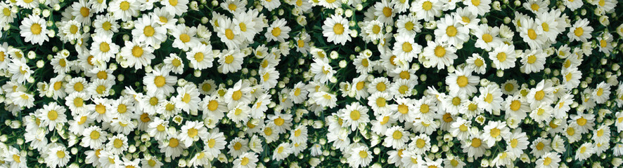 Panoramic Chrysanthemum