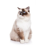 Ragdoll Cat on a White Background