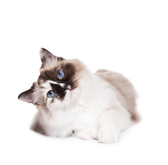 Curious Ragdoll Cat on a White Background