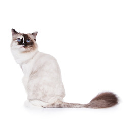 Shaved Ragdoll Cat on a White Background