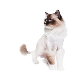 Ragdoll cat shaved with a lion style haircut on White
